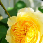 バラジャムは、バラが咲いている時期だけお分けできます