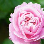 バラを自然療法に加えると、癒しが加速します