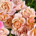 日本のバラを和風庭園に植えはじめたきっかけ