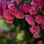 バラの香りを心やスキンケアに使い分ける方法