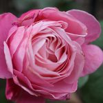 rose-essence-spray