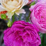 オープンガーデンで咲いたバラの花と香りをいただく幸せ