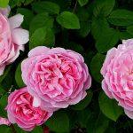 バラの育て方と癒しのバラ園を始めたきっかけ