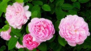 バラの香り療法